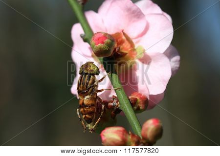 Pink Plum Flower And Fly Close Up Shot