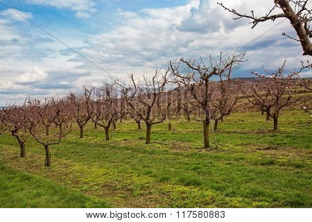 Wachau landscape with apricot trees