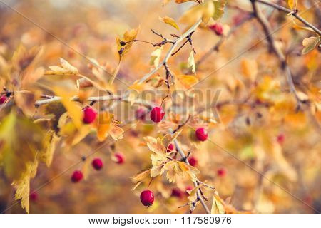 bright red berries and yellow leaves on a branch of hawthorn in autumn