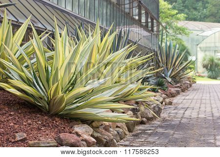Agave Plant Decorative At Sidewalk