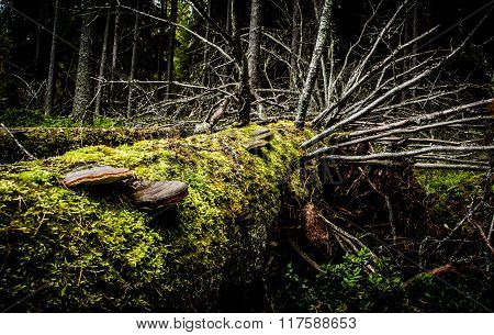 A fallen tree with moss