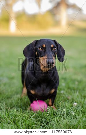 Dachshund waiting for the ball to be thrown