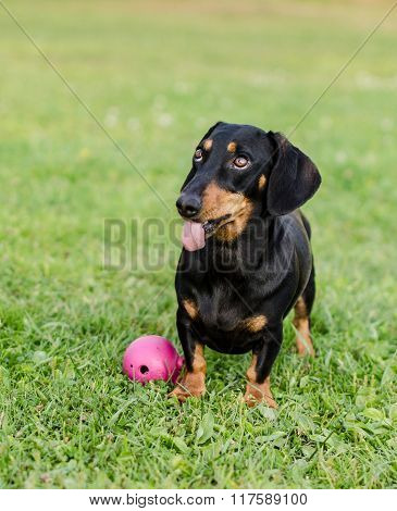 Funny dachshund with tongue sticking out