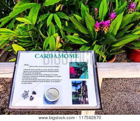 Cardamom plant in a tropical garden