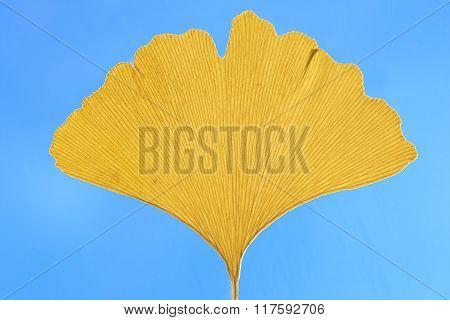 One Ginkgo Leaf Against Blue Sky