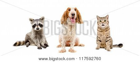 Raccoon, dog and cat sitting together