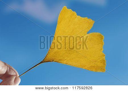 Female Fingers Holding One Yellow Ginkgo Leaf