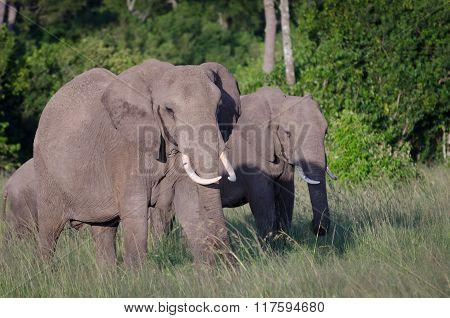 African elephants grazing in Masai Mara National Reserve, Kenya.