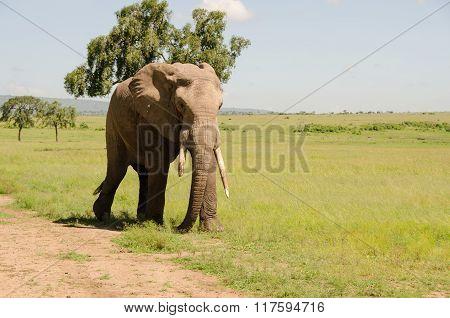 African elephant grazing in Masai Mara National Reserve, Kenya.