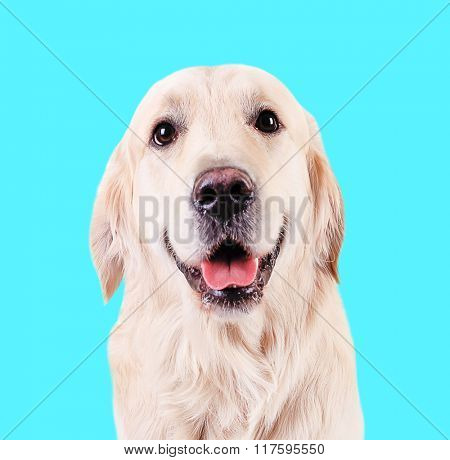 Cute friendly Golden  Retriever on blue background