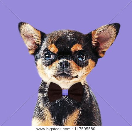 Cute chihuahua puppy on purple background