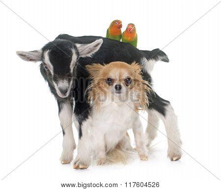 Chihuahua, Kid And Cockatiel
