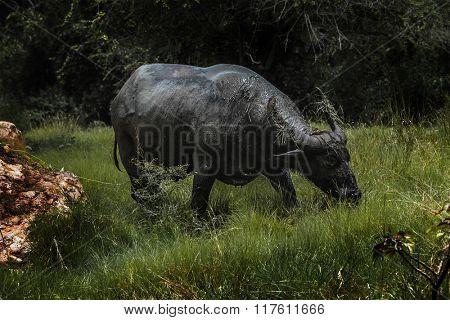 Wild water buffalo (Bubalus bubalis) grazing on a meadow. Comodo National Park, Indonesia