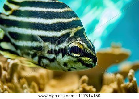 Tropical Zebra Fish
