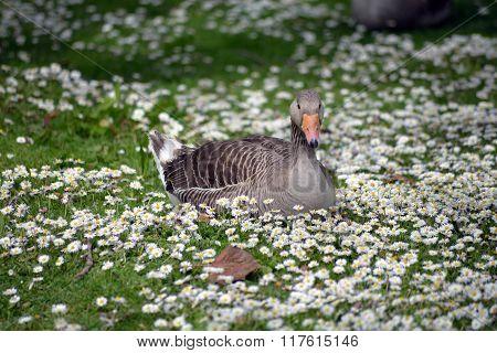 Duck Among Daisies In Fota Wildlife Park Near Cobh
