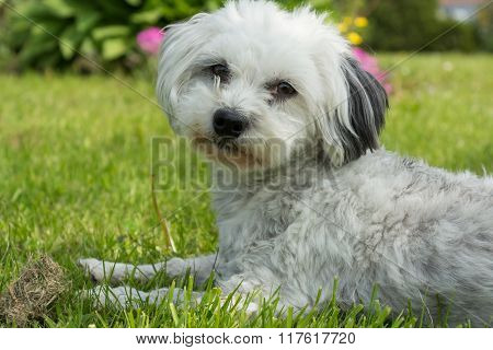 Havanese - Small Dog Lying In Meadow