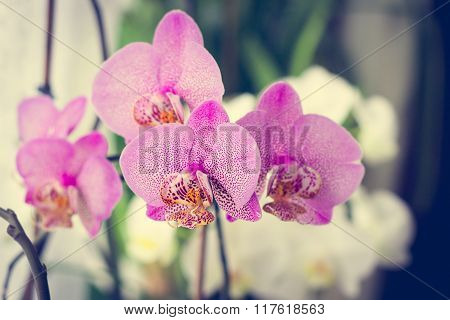 Branch Of Purple Dots Orchid Blossom