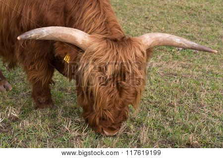 Highland Cattle In The Meadow