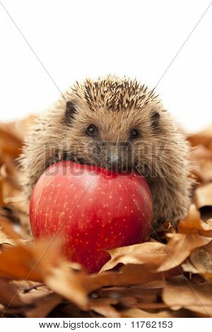 Hedgehog sitting on leaves