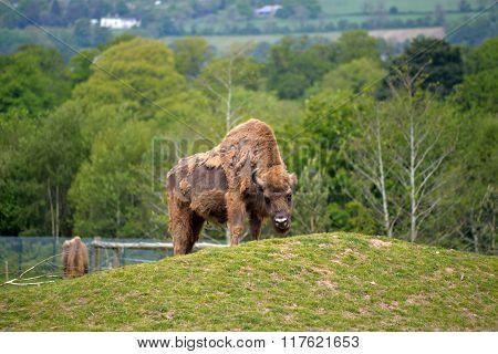 European Bison In Fota Wildlife Park