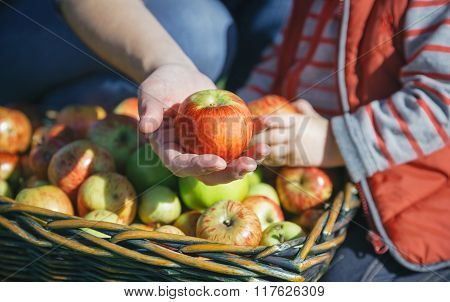 Woman hand showing organic apple from the harvest
