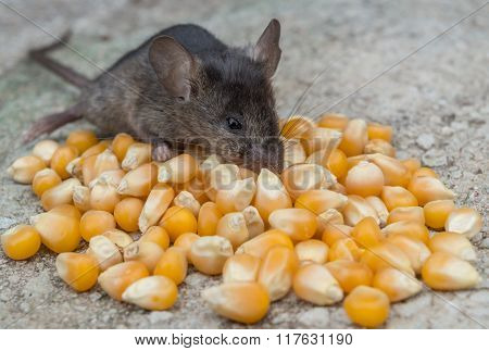 Baby mouse eating corn