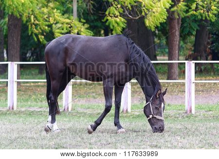 Black Horse Grazing In A Field Near The Fence