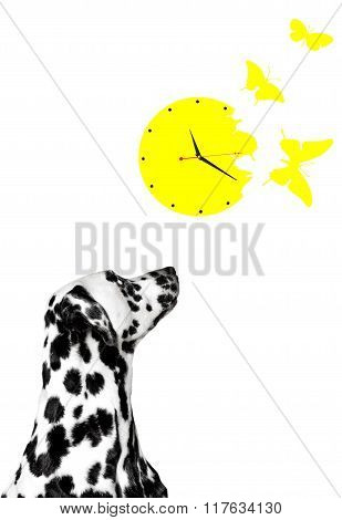 Dalmatian Looks At The Clock