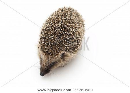 Little hedgehog and apple