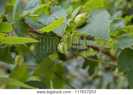 The Hop Flowers.