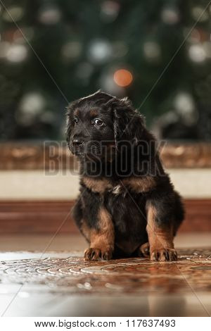 Cute black hovawart puppy