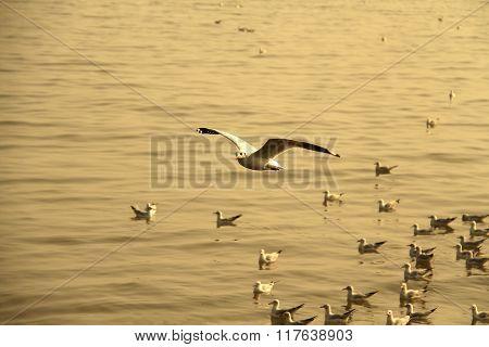 Winter Escape Seagulls From Siberia