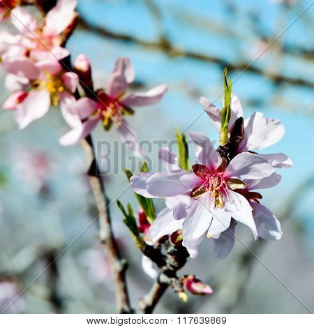 closeup of the branch of an almond tree in full bloom
