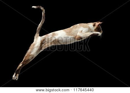 Jumping Oriental Cat Isolated On Black