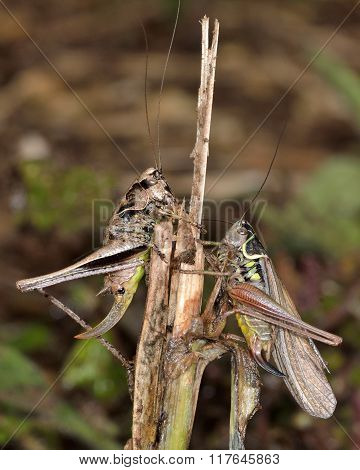 Dark bush cricket (Pholidoptera griseoaptera) and Roesel's bush cricket (Metrioptera roeselii)