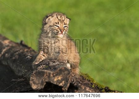 Baby Bobcat (lynx Rufus) Looks Right From Log