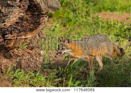 Grey Fox Vixen (urocyon Cinereoargenteus) Walks Near Log