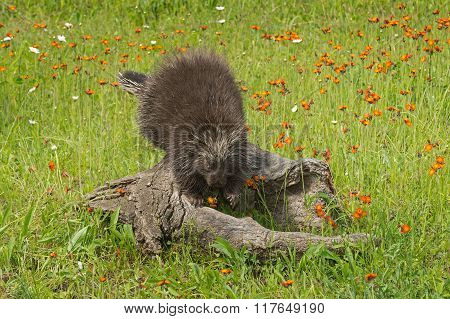 Porcupine (erethizon Dorsatum) Steps Off Log