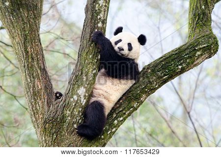 Giant Panda Sitting in Tree, China