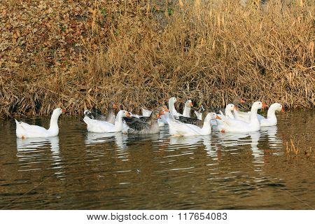 group of gooses float in river