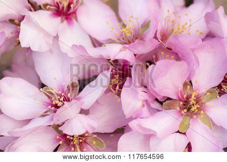 Pretty Pink Almond Blossom