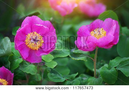 Peony portrait flower. Nature composition.