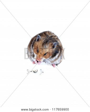 Brown Syrian Hamster Eating Pumpkin Seeds Isolated