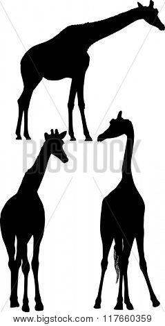 illustration with three giraffe silhouettes isolated on white