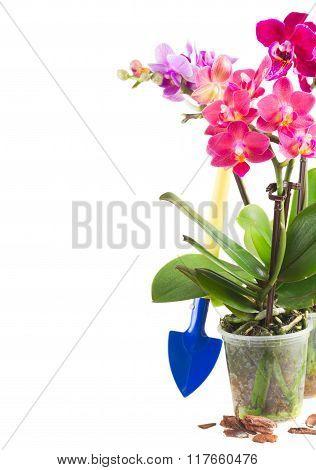 Spring  violet orchids