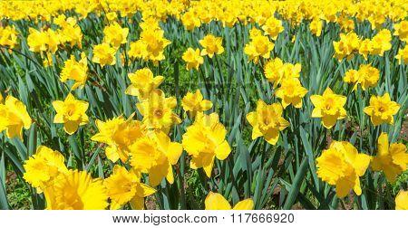 Daffodils panorama