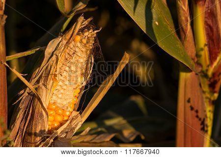 Corn cob in the cornfield