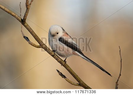 Perching Long-tailed Tit
