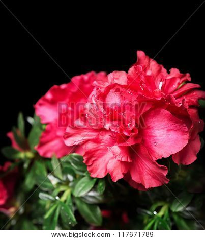 Vivid scarlet azalea bush flower