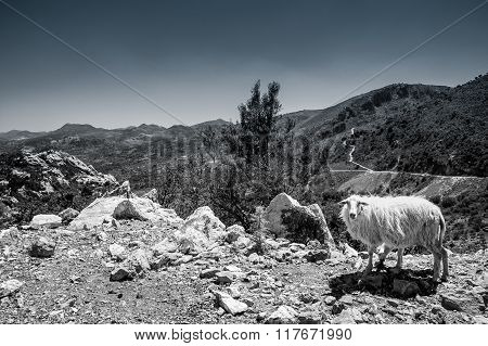 Sheep On The Mountains Of Crete,